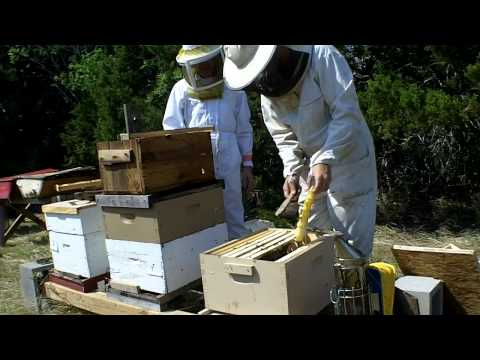 Transfering Bees From A Swarm Trap video