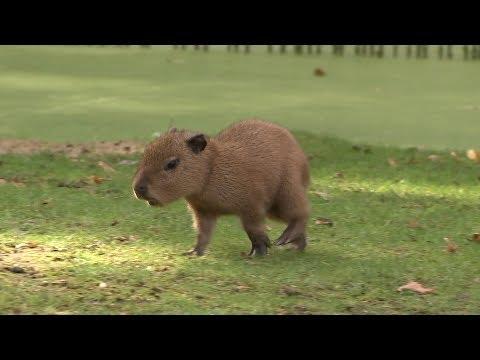 Wasserschweinbabys auf Safari