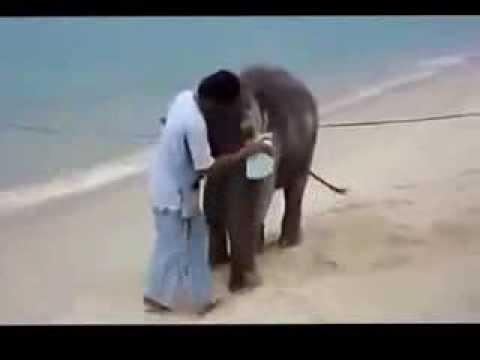 Слон балдеет на пляже flv Юмор Прикол Смех