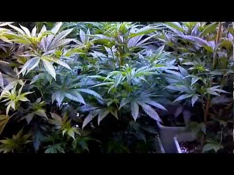 Deep water culture hydroponics video 1