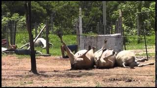Polícia Rodoviária encontra bois e cavalo furtados