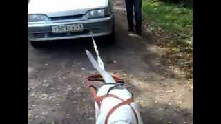 Super Strong Dog Pulling a 950 kg Car