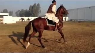 Desi horses of pakistan