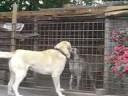 Kurdish Kangal Dogs - K�rt Kangal K..