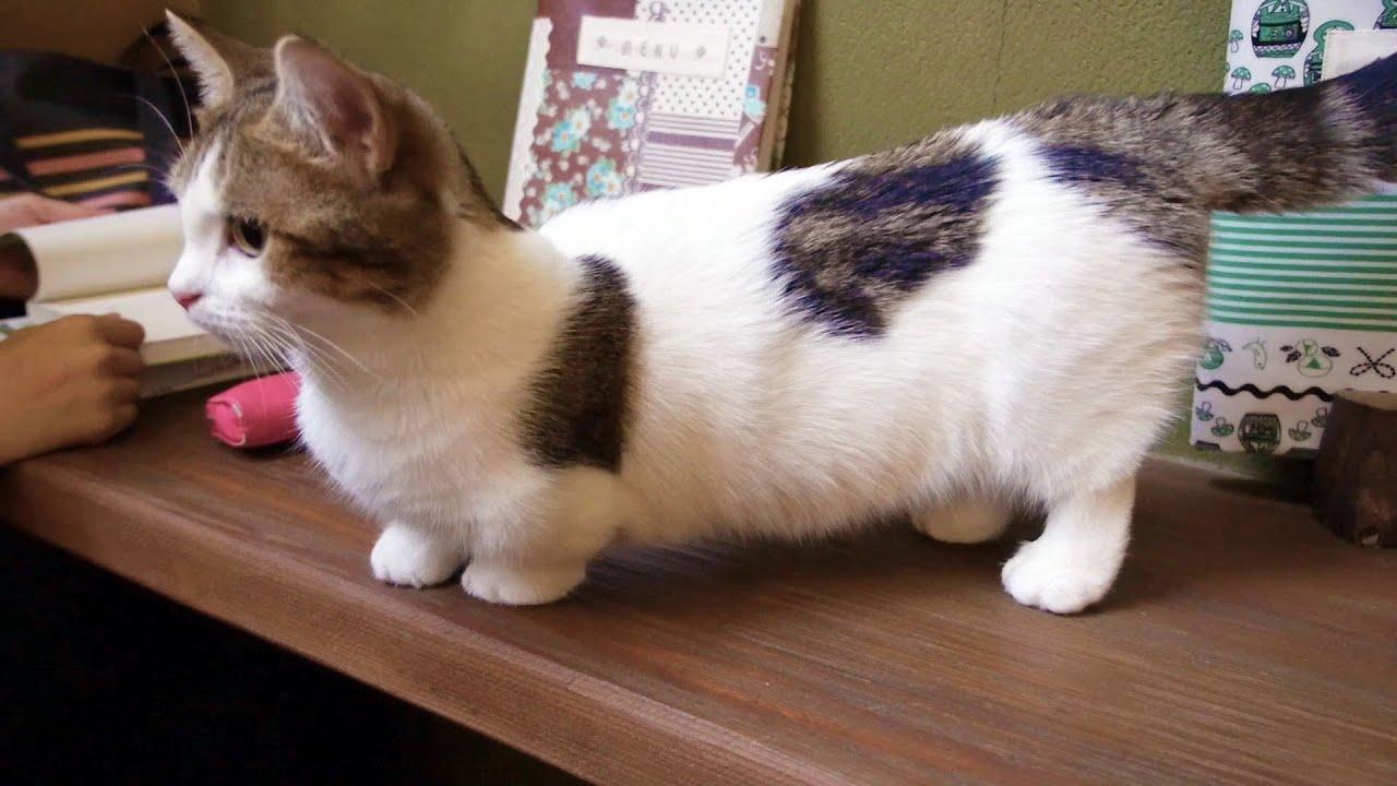 Cow Pattern 【 Cow Pattern Cat-like