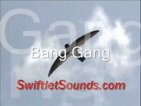 Swiftlet Sound Bang Gang External Sound video