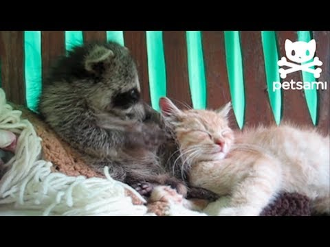 Raccoon thinks a kitten is his teddy bear