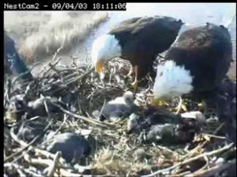 Sooner Lake Oklahoma 2009 Season Bald Eagle Baby ...Egg to fledge Lil Sooner grows up