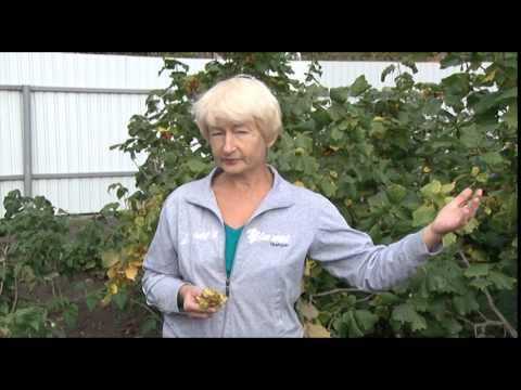 Как выращивать виноград в Башкирии