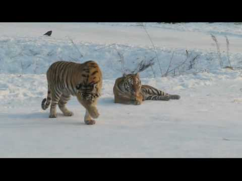Harbin, China - Siberian Tiger Park - Part 2.avi