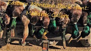 Eastern Montana Duck Hunt: Mallard Galore