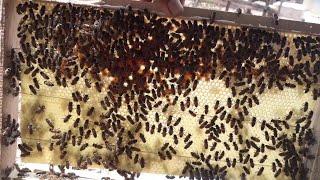 """Cách cho đàn ong mật mới bắt về xây trên chân tầng """"săn bắt đồng nai """""""
