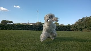 Afghan Hound playing