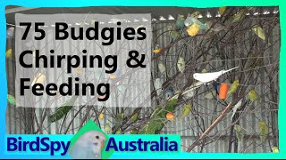 75 Budgies Chirping Singing Playing And Feeding  Birdspyaus