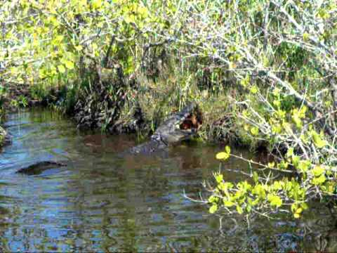 Alligator hunting in Titusville, Florida