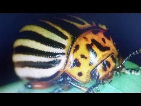 Как быстро избавиться от колорадского жука