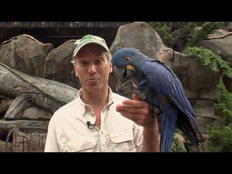 Hyacinth Macaw-Cincinnati Zoo Video