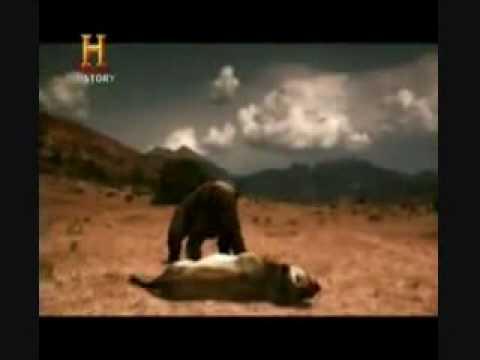 oso de cara corta vs leon americano (linkin park new divide-runeway)