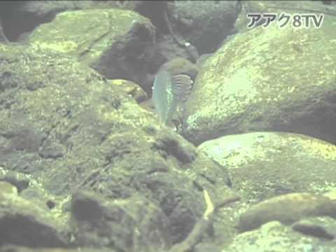 アアク8TV水中映像 ×Goovie 岐阜県の魚類16 オイカワの産卵行動