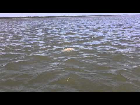 Apalachicola Bay 37.5 lb black drum.MOV