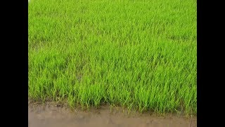 Primitive Technology: Farming techniques, sowing method of paddy - Part 3