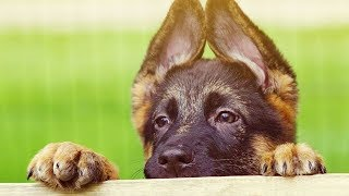 Funniest & Cutest German Shepherd Puppies #17 - Funny Dogs Compilation 2018
