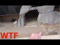 DOG & CHEETAH LOCKED IN THE SAME CAGE! WTF