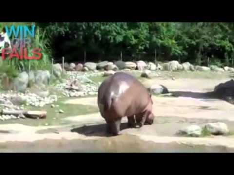 Hipopotamo cagando.flv
