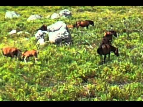 Refoios do lima cavalos selvagens