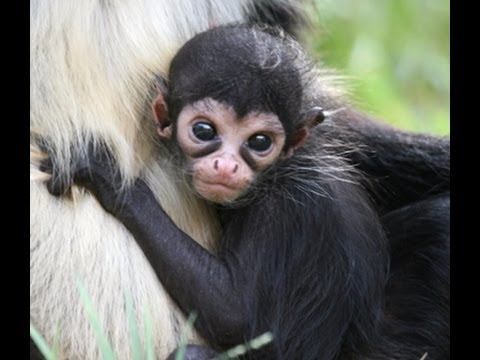 Spider Monkey Facts For Kids - Facts About Spider Monkeys For Kids