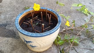 Giâm cành cây Mai vàng quý sau Tết. Bảo vệ giống mai quý