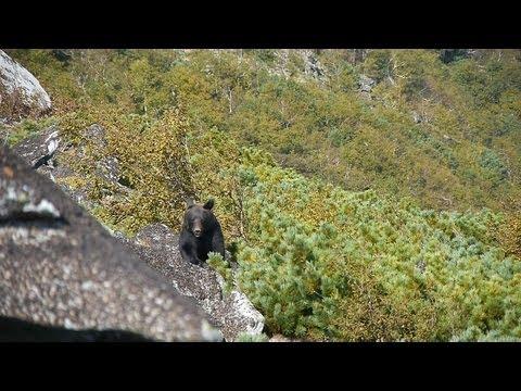 Зейский заповедник. Медведи и кедровки. Битва за урожай.