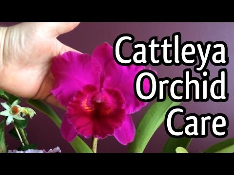 Care of Cattleya Orchids Cattleya Orchid Care Tips