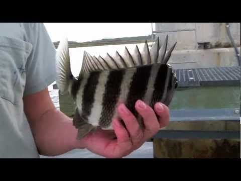 Inshore Fishing for Sheepshead, Redfish, and Trout