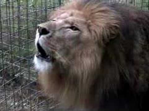 Lion Roar - Extreme Close Up!!! video
