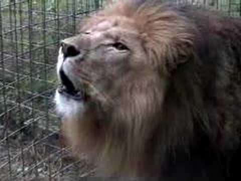 Lion Roar - Extreme Close Up!!! video