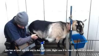 Winter 2016 goat ultrasounds!