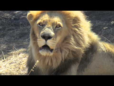 Save the lions: Gaucho & Friends, Drakenstein Lion Park, Cape Town, South Africa