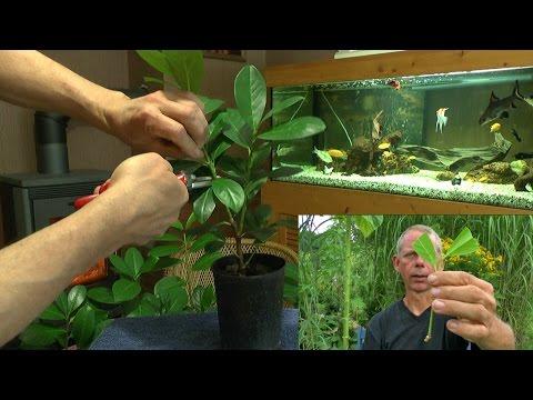 Vom Steckling Zur Pflanze, Kirschlorbeer Einfach Selber Vermehren