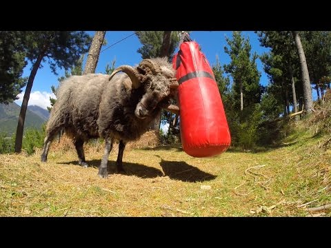 Angry Ram destroys a punching bag.. thumbnail