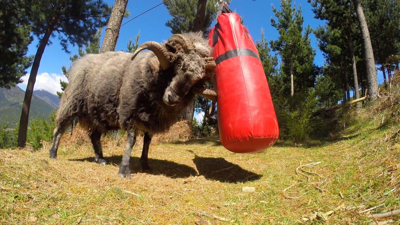 Un bélier s'entraîne à la boxe