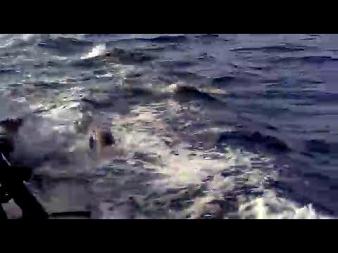 Orca cazando lobos marinos