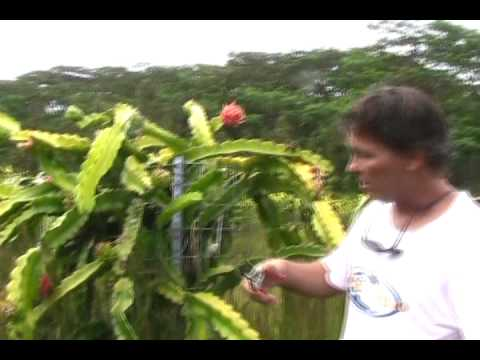 Dragon Fruit Farming