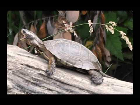 Western Pond Turtles Humboldt Video