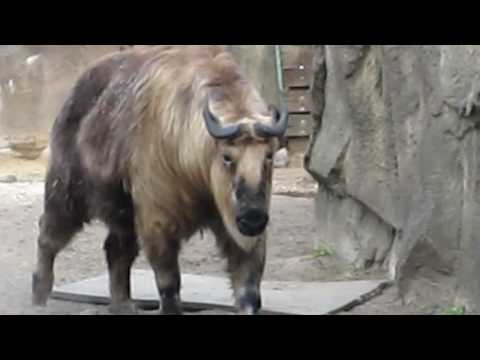 Sichuan takin at the Lincoln Park Zoo Video