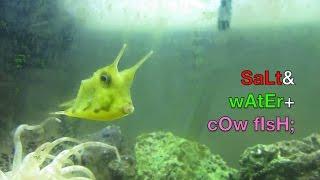 Longhorn Cowfish in Saltwater Fish Tank Home Aquarium Setup as Cool & Cheap Exotic Tropical Species