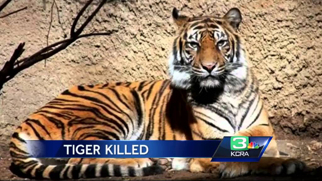 Female tiger dies after male tiger attack