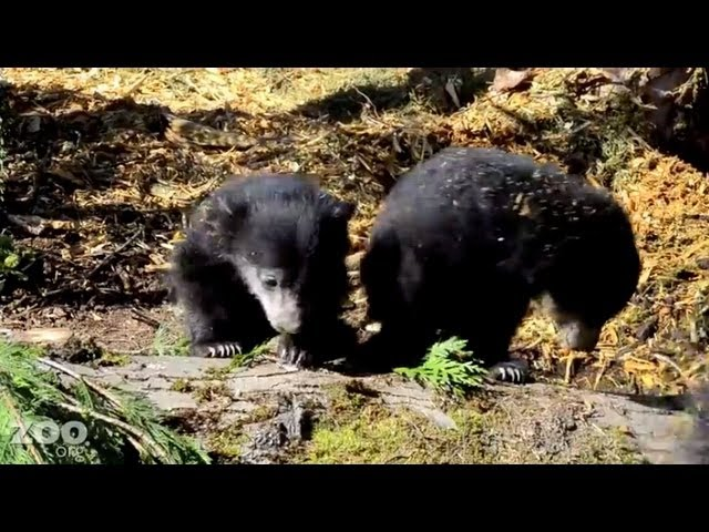 Sloth Bear Cubs First Time Outside at Woodland Park Zoo Seattle