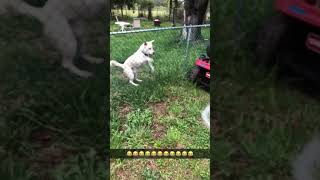 Goofy Dog Chases Water!
