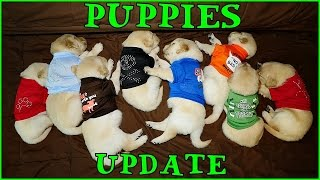 PUPPIES!!! Update #3 Cute Cuddly Crazy Pups Pets Golden Retriever Puppy